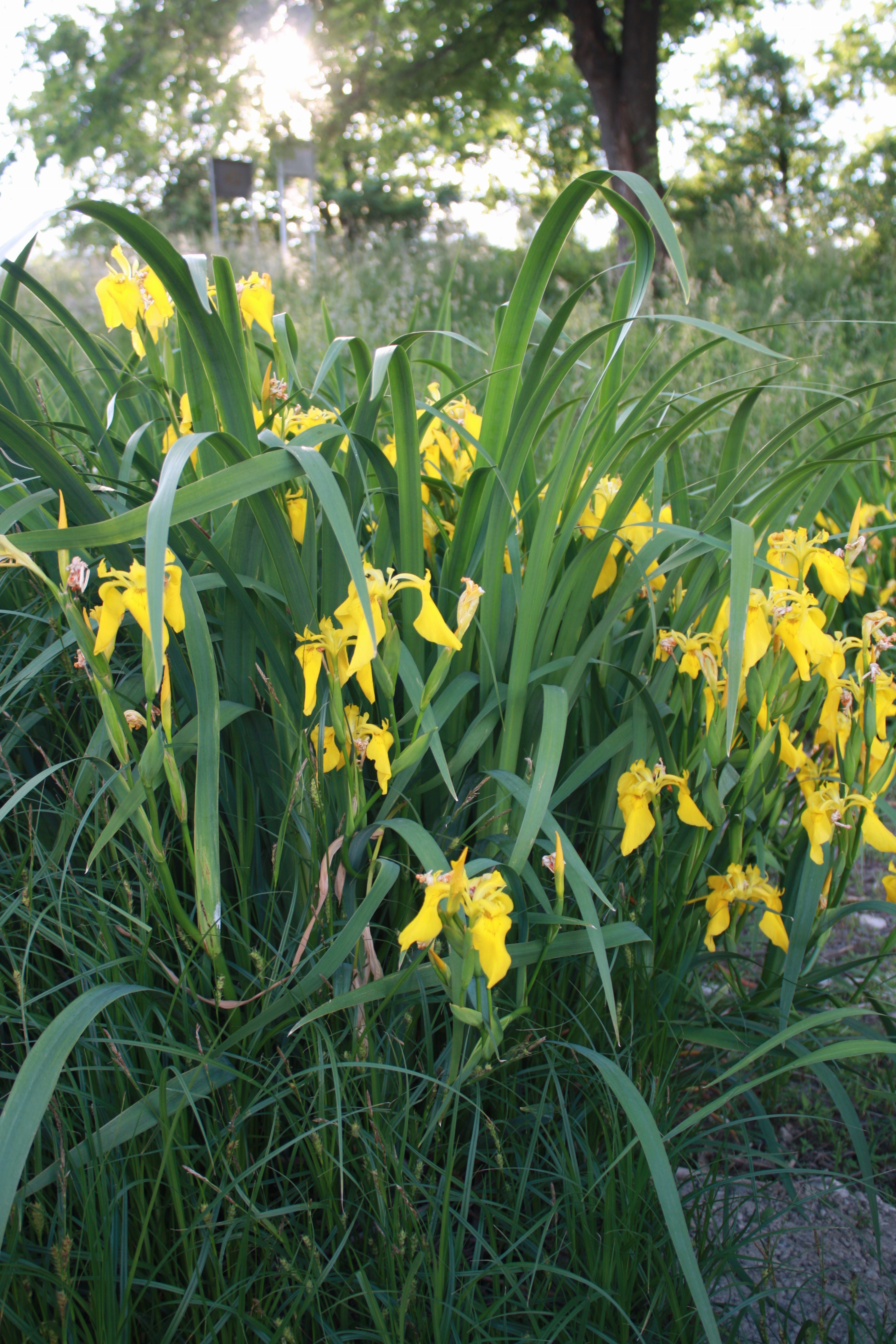 kosatec žltý - rastlinstvo